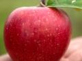 Apfel_in_Hand2_CR_Uve_Haussig