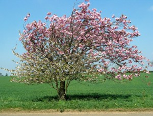 Apple_tree_in_blossom_-_geograph.org_.uk_-_407616